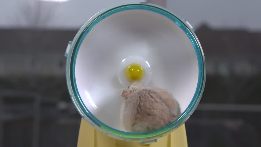 Medium shot of beige hamster running on small hamster wheel. Real-time.