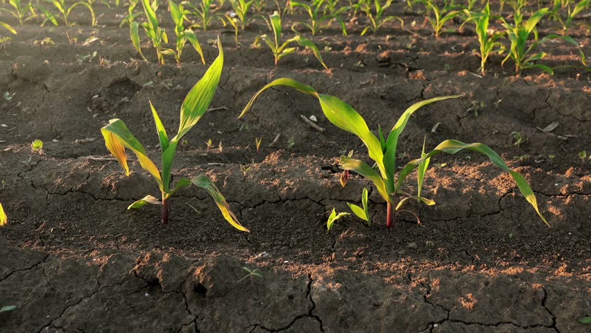 Corn Crops Growing In Rows On Cultivated Field, Camera Sliding Through  Plantation   4K Stock