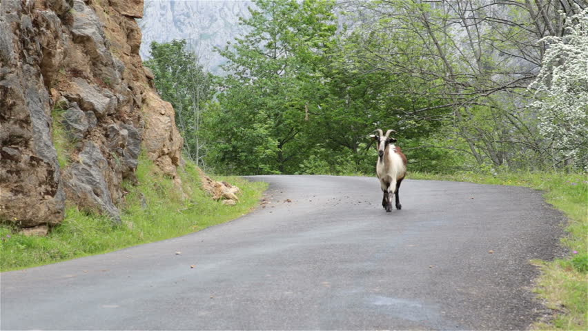 Mountain goat on road walking toward camera Asturias Northern Spain