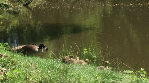 Canada Goose family, Branta Canadensis, couple with goslings browsing on lakeside