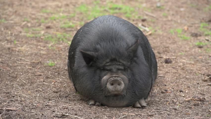 Fat Black Pig Sitting On Stock Footage vidéo 100 Droits-2863