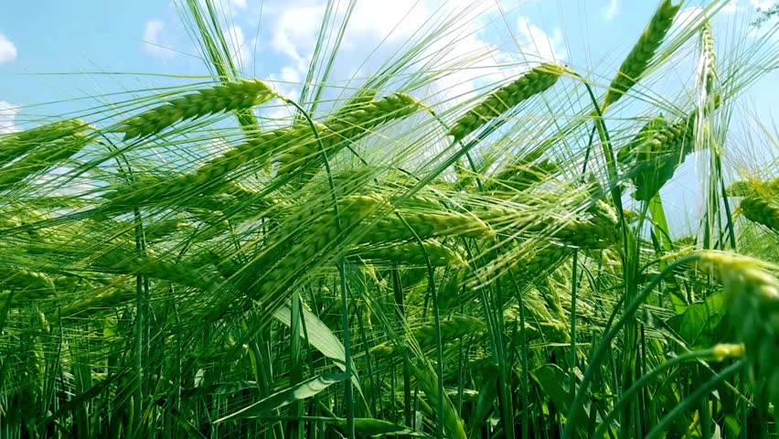 Green Wheat Field Stock Photos. Royalty Free Green Wheat Field ...