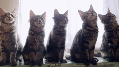 Funny Maine coon cats move their heads back and forth trough the sun. 1920x1080