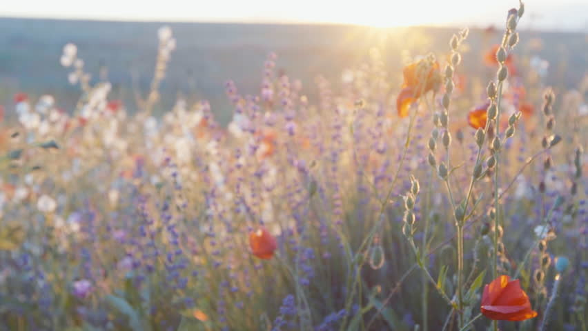 Slow motion tracking shot of lavender, poppy and wild herbs in a field on the sunset.