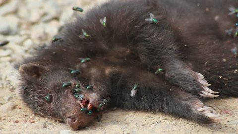Wolverine dead with flies and maggots