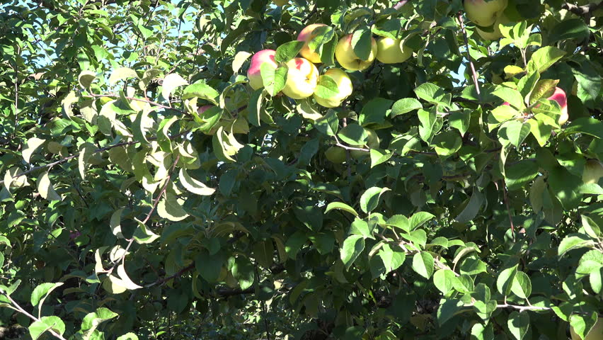 Apple Fruits On Fruiter Tree Branches In Industrial Orchard Garden. 4K   HD  Stock Video
