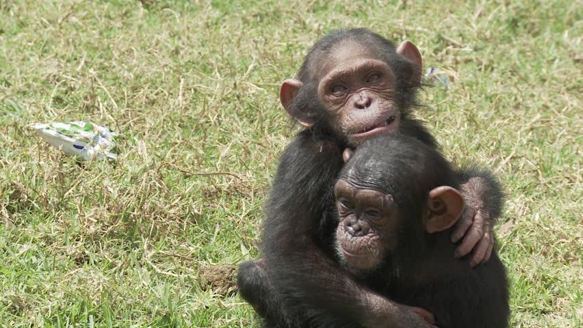 Cameroon, two chimp baby hug