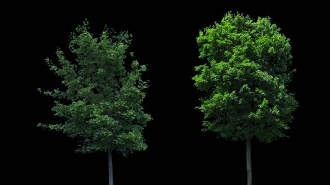 High quality 10bit footage of trees on the wind with Alpha Channel. Made from RAW footage.