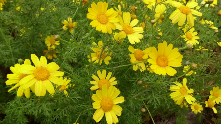 Stock video of pretty yellow flowers and feathery leaves 16880143 4k0011morning rain on the wild daisy mightylinksfo