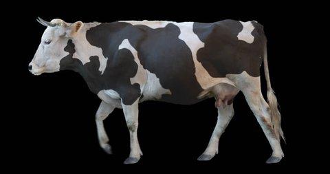 Black and white cow walking on a transparent background. Cyclic animation contains an alpha channel. Can also use as a silhouette.