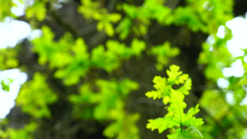 Oak tree in the forest   Shutterstock HD Video #17391382