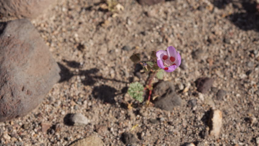 4K time lapse looking down on a lone pink Desert Five-Spot flower blooming and opening in the morning light as its shadow moves across the ground like a sun dial on a sunny breezy day in the desert