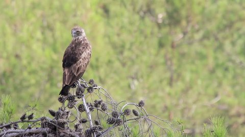 Short toed eagle standing on a branch Beautiful shot of Short toed eagle standing on a branch