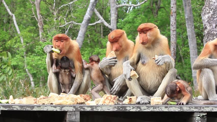 Proboscis Monkey family dinner