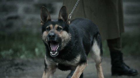 Portrait of an aggressive purebred german shepherd outdoors.