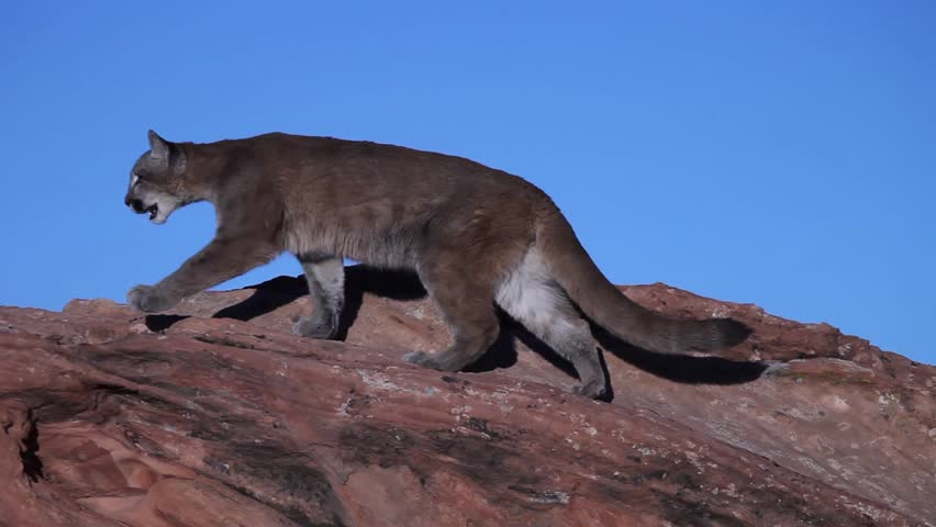 Young cougar prowling on top of a red sandstone outcrop in Southern Utah