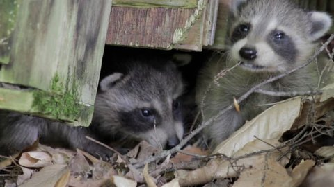 two baby raccoons peer out from beneath a log