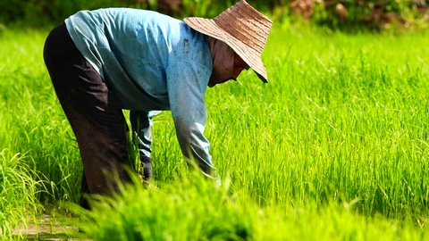 Asian farmer transplant rice seedlings in rice field farmland,Farmers planting rice in the rainy season,countryside Thailand.