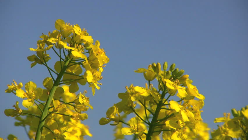 Farmland with rape-flowers