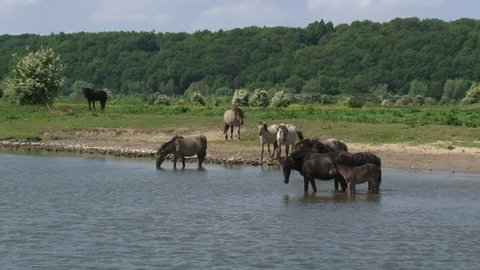Konik horses, herd wading in river Rhine. Grebbeberg moraine hill in background. Semi-wild herds of konik can be seen today in many nature reserves such as the BLAUWE KAMER, THE NETHERLANDS.