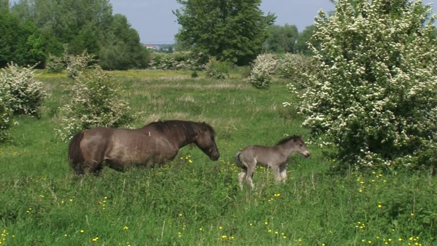 Konik horse, mare and foal join the herd in hawthorn landscape. Semi-wild herds of konik can be seen today in many nature reserves such as the BLAUWE KAMER, THE NETHERLANDS.