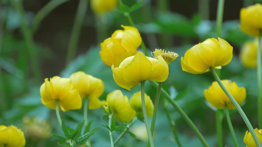 Header of globeflower