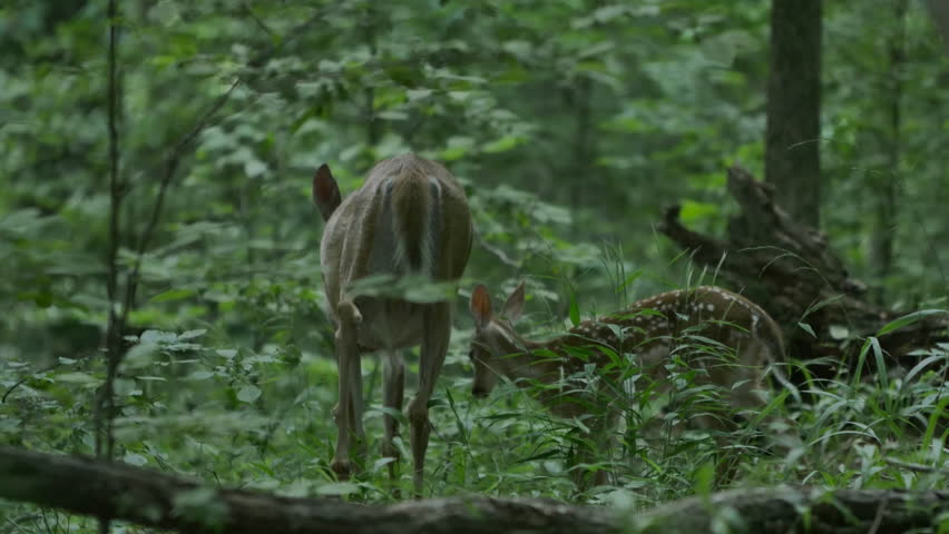 Shallow depth shot of little baby fawn deer and it's mother foraging in the forest at Mammoth Cave National Park in Kentucky with deep rich color and lots of latitude in this classic shot of wildlife.