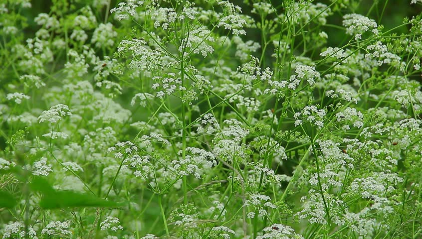 White Flowers Weeds Stock Footage Video 100 Royalty Free