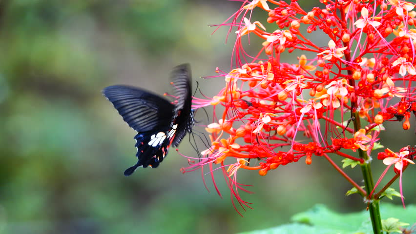 4K video orange and red flower with colorful butterfly flying blur on green leaf blurry background:Close up,select focus. #17785369