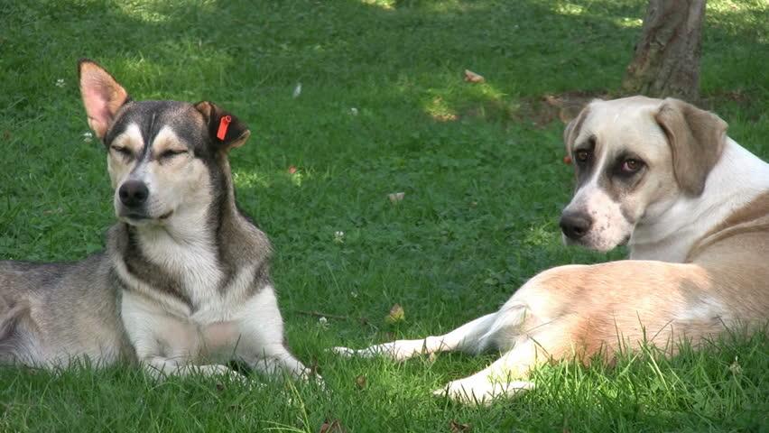 Dogs Relaxing in lawn | Shutterstock HD Video #1781417