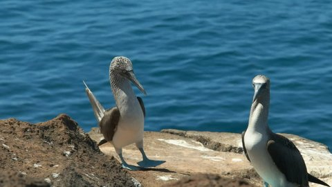 close up of a blue-footed booby dancing on isla nth seymour in the galalagos islands, ecuador