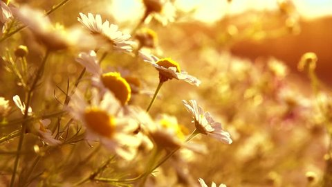 Chamomile Daisy flowers. Beautiful nature scene with blooming medical chamomilles in sun flare. Sunny day. Summer flowers. Summer camomille background. Springtime. Slow motion. Full HD 1080p