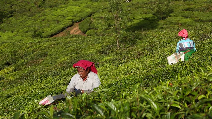 Munnar, India - January 5: Women picking tea leaves in a tea plantation around Munnar, Kerala, India on January 5, 2016.