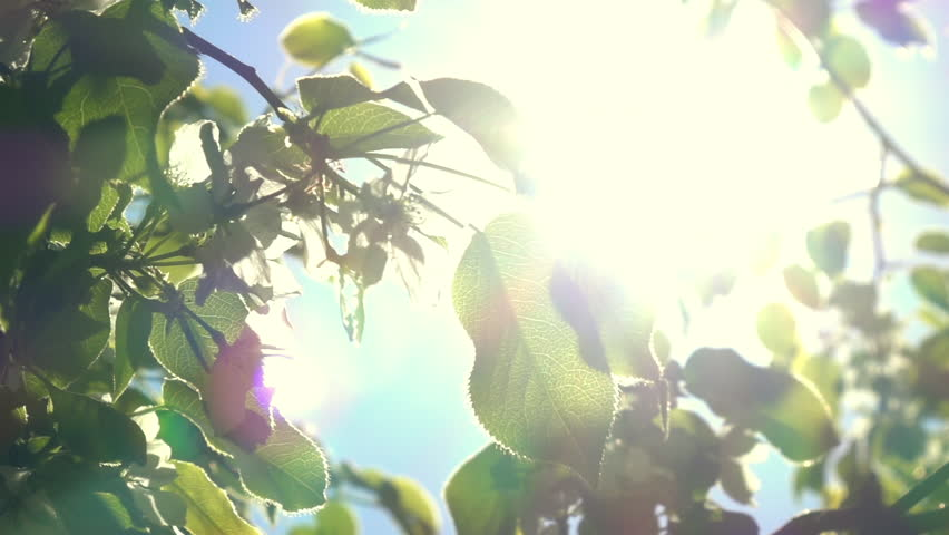 Flowering pear tree branch with lens flare on the wind against blue sky background. Play of sun through new fresh green leaves and flowers. Beautiful spring nature scene. Slow motion. 1920x1080