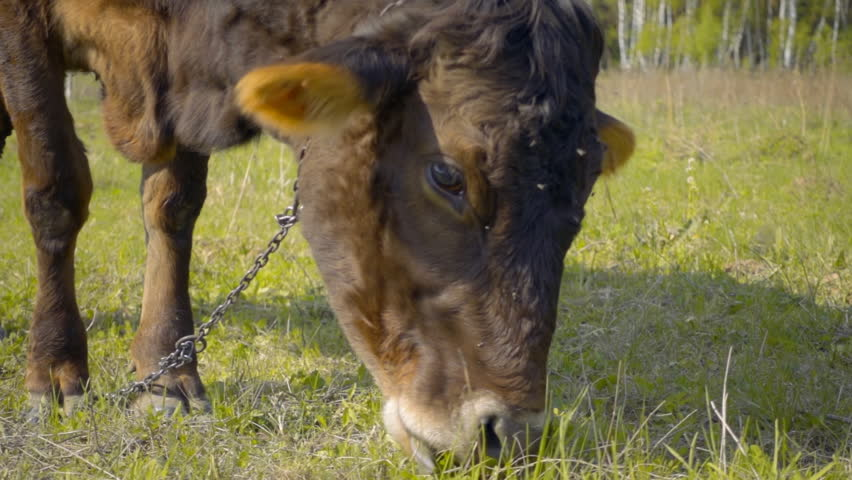 A cow walks across the field, waving his ears from flies and eats grass. Slow motion, high speed camera, 250fps   Shutterstock HD Video #17950507