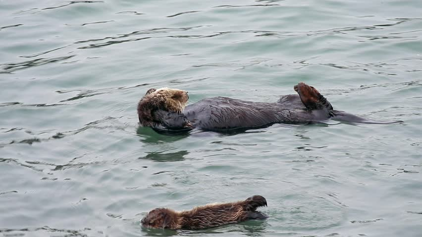 An Endangered Sea Otter mom cleans & plays with her baby. Cute & adorable wildlife behaviour in the kelp of the Pacific Ocean (California).  #17994727