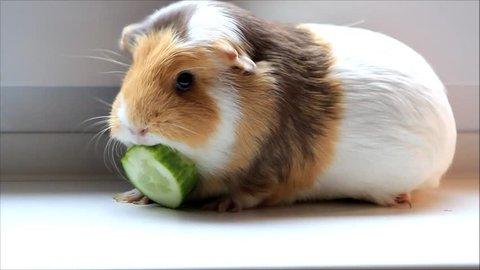 pet guinea pig nibbling cucumber