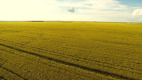 Aerial drone flying over a growing canola field in Saskatchewan, Canada. There is a city in the background.