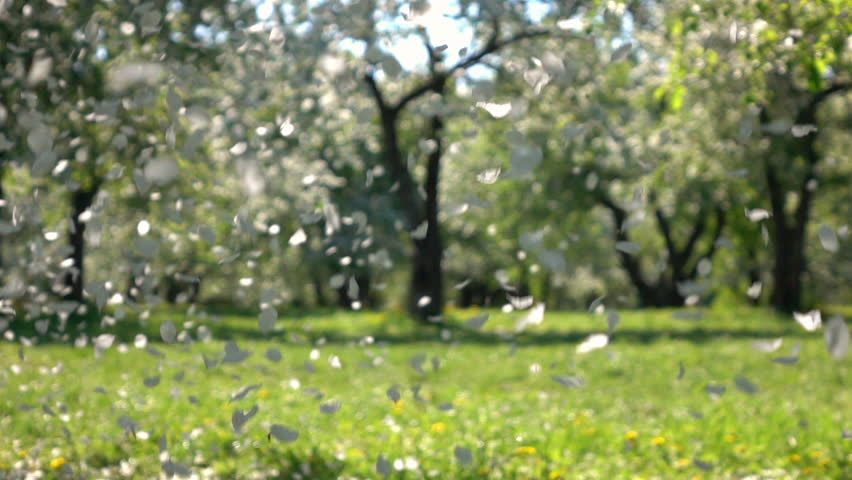 Lots Of Apple Petals Are Falling Against Blur Royalty Free Video