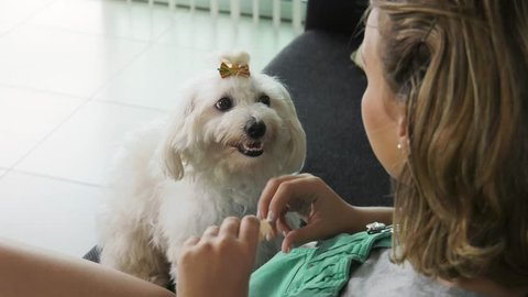 Pets, animals and hygiene. Woman with maltese dog on sofa, applying flea collar to its neck. Medium shot