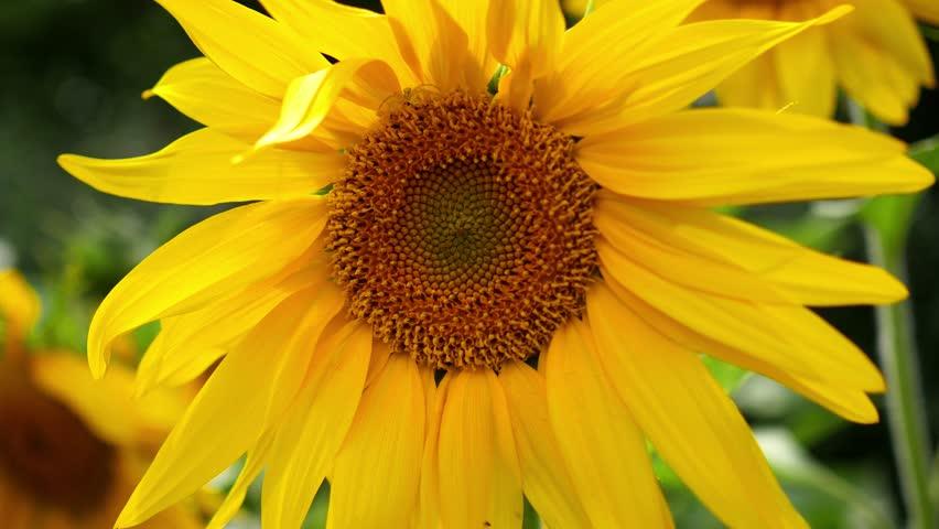 Flower of sunflower close up | Shutterstock HD Video #18105337