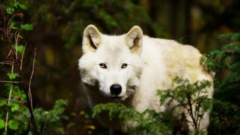 Wild grey wolf scavenging for food outdoor on National Reserve
