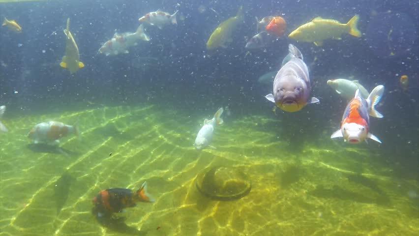 Stock video of underwater view of koi fish swimming ...