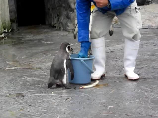Zookeeper feeding the penguin in zoo.