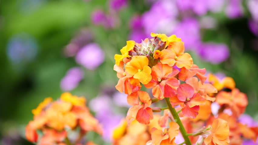 yellow and purple lantana spanish flag flowers lantana camara stock footage video 3160450