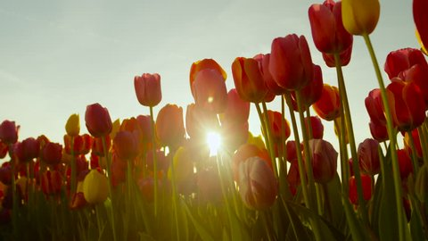 CLOSE UP, SLOW MOTION, LOW ANGLE VIEW: Amazing flowerbed of red and yellow tulips blooming at touristic park on early sunny evening. Lovely tall tulip flowers blossoming on big garden at late morning