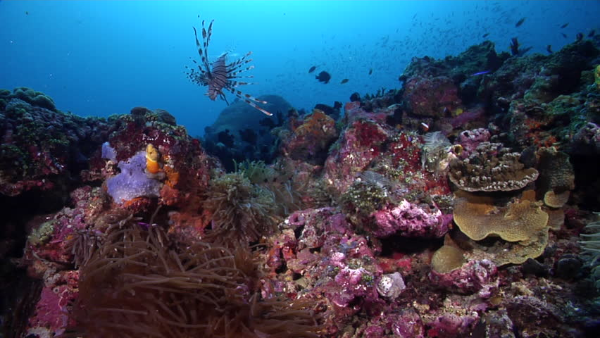 Red and black anemonefish swimming on deep coral reef, Amphiprion melanopus HD, UP27354