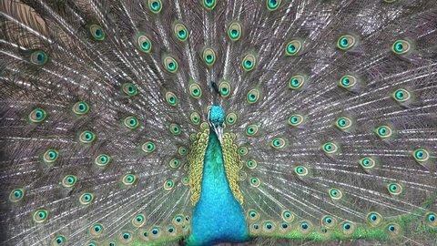 beautiful Japanese male peacock