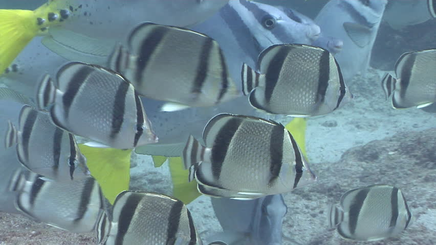 Razor sawtail swimming and schooling on rocky reef, Prionurus laticlavius HD, UP25139 | Shutterstock HD Video #18540134