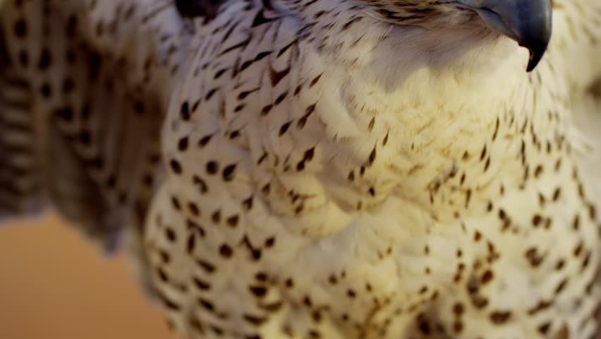 Saker falcon in close up outdoors in Arabian desert location